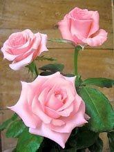 roserosenoblessetg.jpg